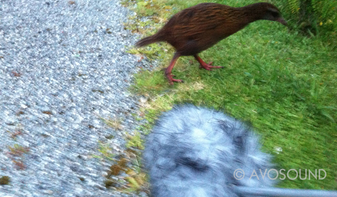 Field Recordist Guido Helbling try to record a weka bird